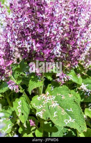 Salvia sclarea 'Piemont', Clary Sage - Stock Photo