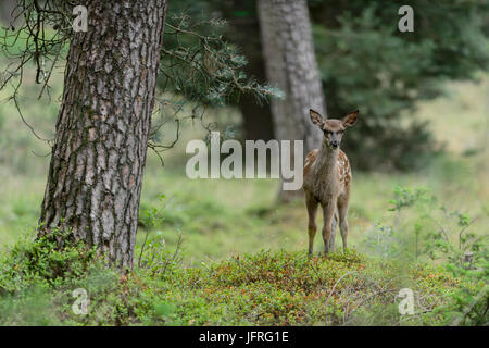 Red deer calf with spotted camouflage fur in a forest field. Hoge Veluwe National Park, Netherlands - Stock Photo