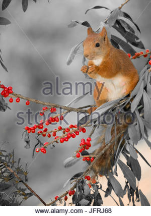 close up of  red squirrel  standing on  branches with red berries - Stock Photo