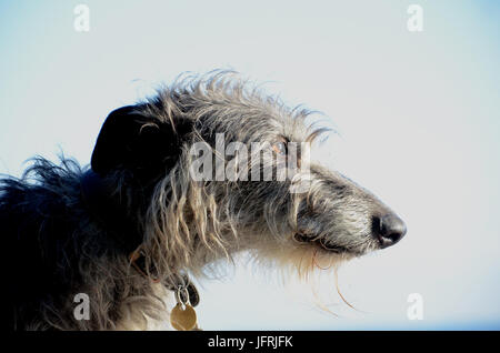 Scottish Deerhound face portrait in side view on a light background. - Stock Photo
