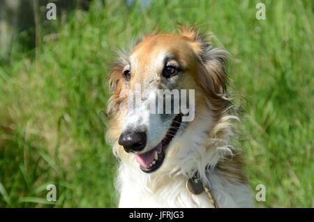 Borzoi frace portrait - Stock Photo