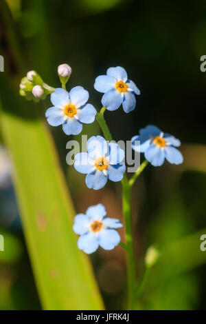 Blue summer flowers of the aquatic marginal UK  wildflower, water forget me not, Myosotis scorpioides - Stock Photo