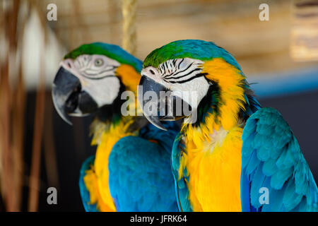 blue-and-yellow macaws (Ara ararauna), Also known as a blue-and-gold macaw. Close-up - Stock Photo