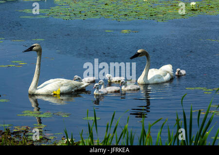 Swan family on lake with lily pads - Stock Photo