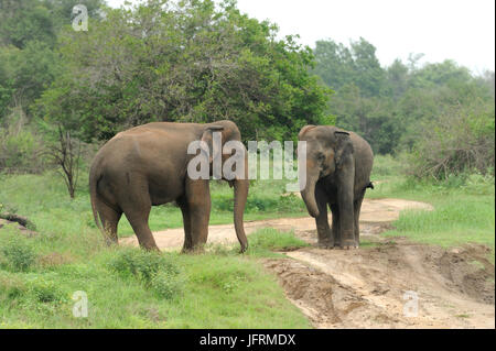Elephants in National Park, Sri-Lanka - Stock Photo