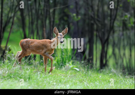 Close Deer in the natural environment in the summer - Stock Photo