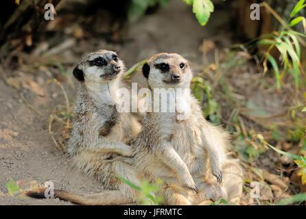 Two young meerkat looking alert - Stock Photo
