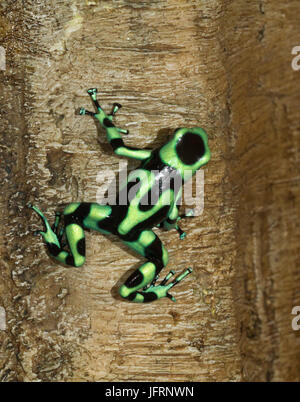 The green-and-black poison dart frog (Dendrobates auratus) on the tree, Costa-Rica, Quepos - Stock Photo