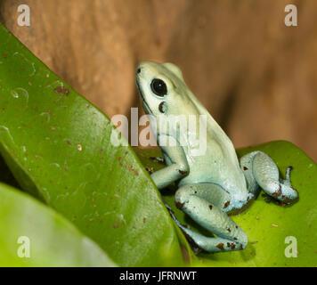 Dyeing poison dart frog - Stock Photo