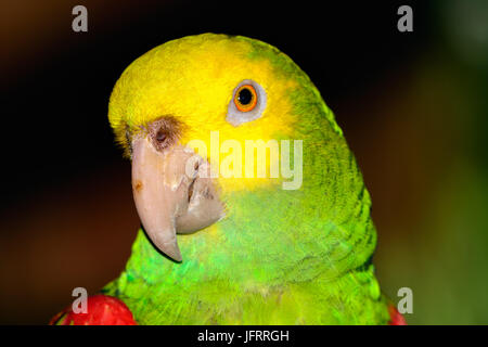 Yellow-headed amazon (Amazona oratrix), Close-up of face, eye. Bokeh background. - Stock Photo
