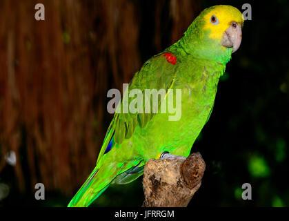 Yellow-headed amazon (Amazona oratrix), Full profile view. Bokeh background. - Stock Photo