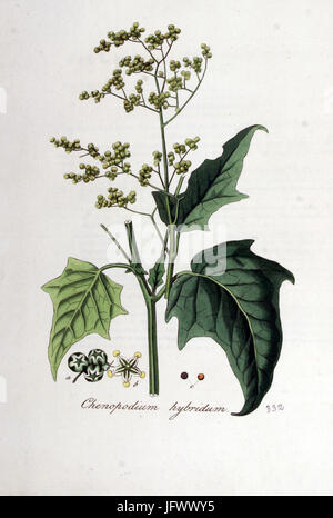 Chenopodium hybridum   Flora Batava   Volume v5 - Stock Photo