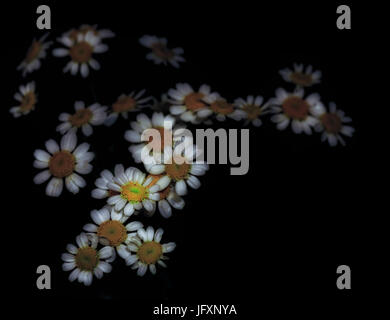 Fine art still life color image of a set of isolated flowering white orange yellow green chamomile blossoms floating - Stock Photo