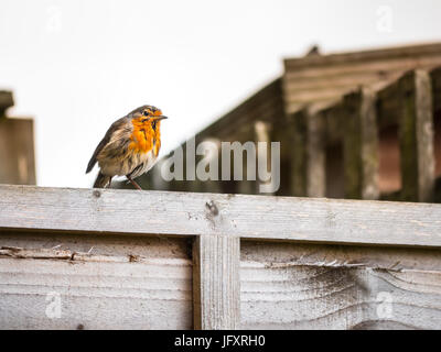 A small European Robins standing on a wooden fence - Stock Photo