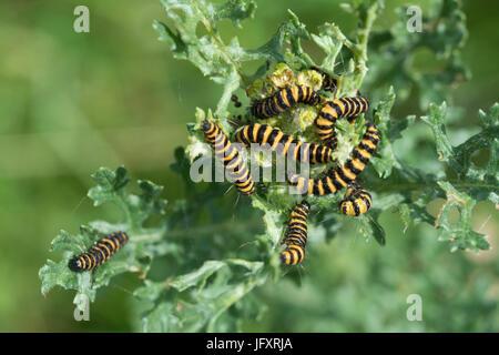 Striped cinnabar moth caterpillars (Tyria jacobaeae) feeding on ragwort (Jacobaea vulgaris) - Stock Photo