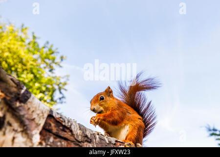 Red Squirrel (Sciurus vulgaris) standing on a log, British Wildlife Centre, Newchapel, Lingfield, Surrey, UK