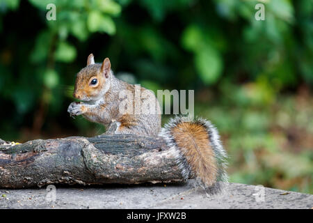 American grey squirrel, Sciurus carolinensis, with bushy tail in classic cute eating pose in a garden in summer, - Stock Photo