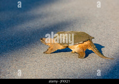Snapping Turtle (Chelydra serpentina) crossing a blacktop road in Wisconsin during the summer - Stock Photo