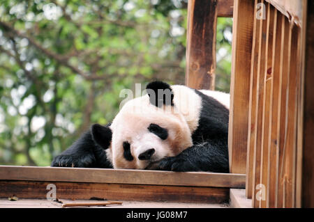 Chengdu, China. 10th Apr, 2017. The panda bear is a rare species at risk of extinction. They can be seen at China's - Stock Photo
