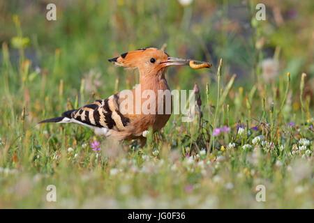Eurasian Hoopoe (Upupa epops) feeding on grassland in northern Greece in Spring - Stock Photo