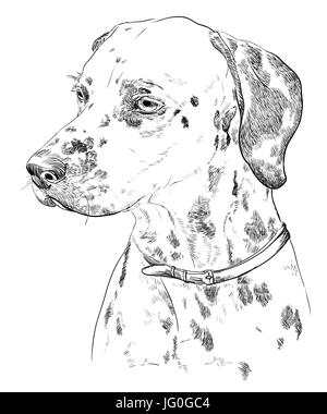 Vector Portrait of dalmatian in black color hand drawing Illustration on white background - Stock Photo