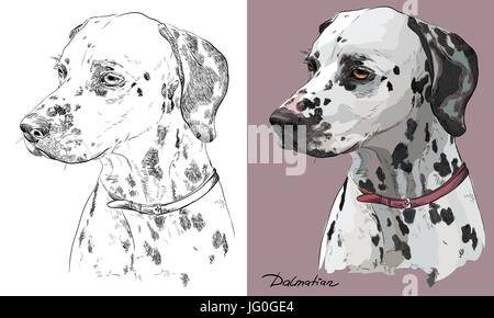 Colored dalmatian dog portrait on pink background and and black color on white background vector hand drawing illustration - Stock Photo