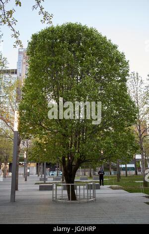 callery pear survivor tree at the national september 11th memorial site world trade center New York City USA - Stock Photo