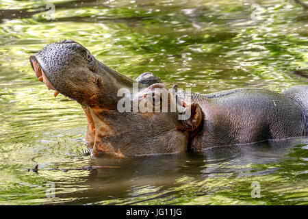 Image of a large animal hippopotamus in the water opened its mouth