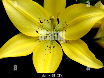 Azucena or Madonna lily blooming in London garden - Stock Photo