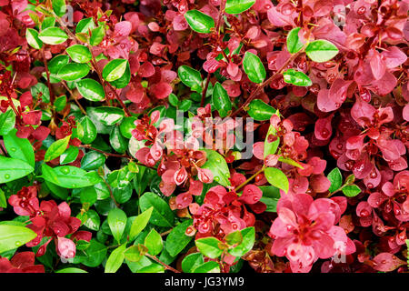 Green and purple foliage, botanical background, wet round leaves, rain drops, crimson, royal pygmy barberry, vibrant - Stock Photo
