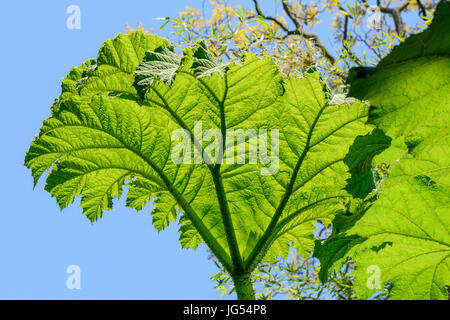 Giant Rhubarb leaves (Gunnera manicata).  Also known as Chilean Rhubarb, Brazilian Rhubarb, Dinosaur Food and Prickly - Stock Photo