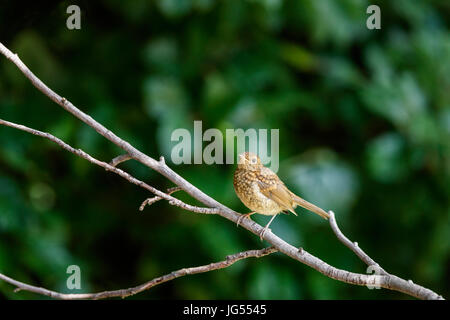 Immature mottled brown fledgling Erithacus rubecula, European robin, perching on a branch in summer in a garden - Stock Photo