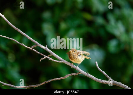 Immature mottled fledgling Erithacus rubecula, European robin, perching on a branch in summer in a garden in Surrey, - Stock Photo