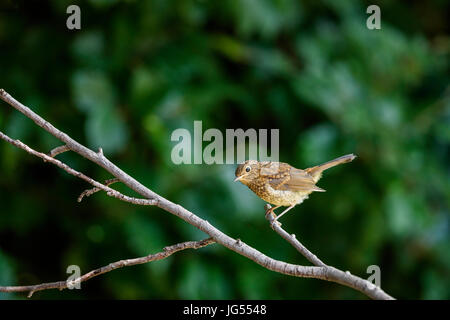Immature young fledgling Erithacus rubecula, European robin, perching on a branch in summer in a garden in Surrey, - Stock Photo