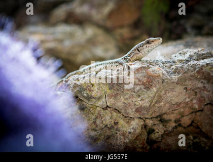 Iberian Wall Lizard - (Podarcis Hispanica) inhabiting the grounds of the Alhambra Palace and fortress located in, - Stock Photo