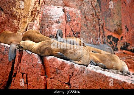 Seals at the Ballestas Islands near Pisco, Peru on 3/23/2014 - Stock Photo