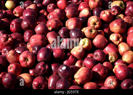 A pile of discared culls from an apple shed. It was cheaper to dump them than transport them to a cider producer. - Stock Photo