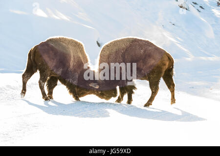 Two American bison bulls spar in the winter snow at the Yellowstone National Park February 15, 2017 in Wyoming. - Stock Photo