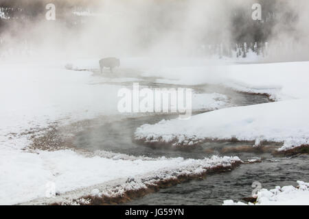 An American bison drinks from the Terrace Spring on a snowy winter morning at the Yellowstone National Park January - Stock Photo