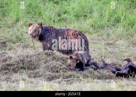A grizzly bear sow and her cubs feast on a bison carcass at the Yellowstone National Park Hayden Valley July 8, - Stock Photo