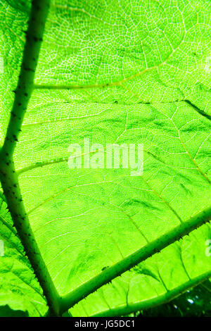 Sunlight shines through the giant leaf of a Gunnera plant. - Stock Photo