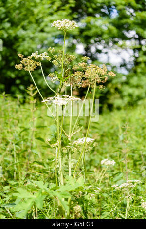Cow parsley plant in a field.  It is often mistaken for the highly poisonous toxic giant hogweed. - Stock Photo