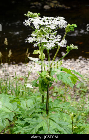 Giant hogweed (Heracleum mantegazzianum) growing beside a river. - Stock Photo