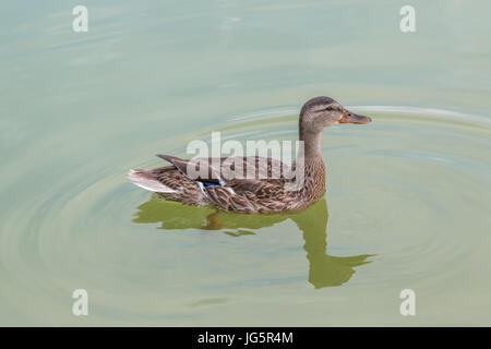 Duck Swiming on Water and Looking Straight Ahead - Stock Photo
