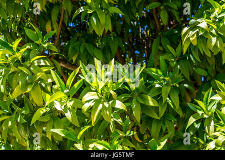 Lemon tree with new green lemons in garden - Stock Photo