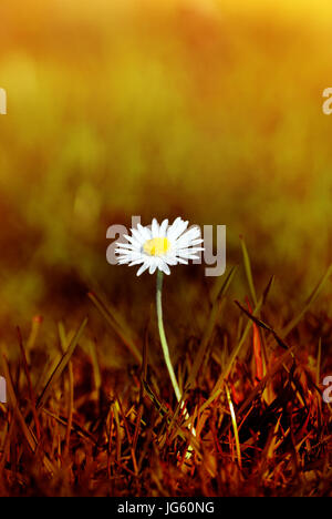 A Spring daisy emerging from grass that has been tinted to appear as a scorched wasteland.  The bokeh background - Stock Photo