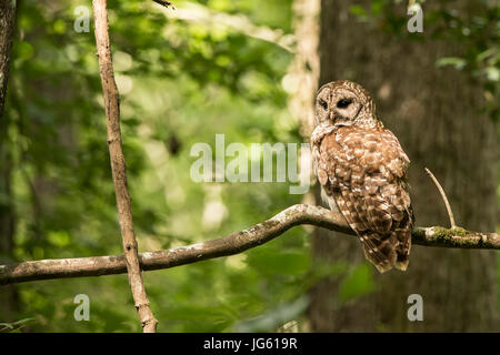 A Barred Owl sits on a branch in Congaree National Park, South Carolina. - Stock Photo