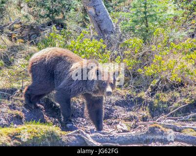 A grizzly bear makes his way to the Flat Mountain Arm lake at the Yellowstone National Park June 5, 2013 near West - Stock Photo