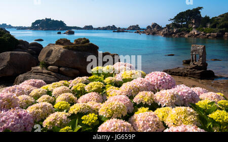 Hydrangea at the beach in Brittany - Stock Photo
