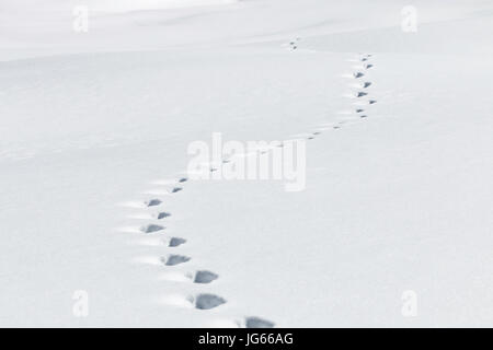 Animal tracks are left in the snow in Routt National Forest, Colorado. - Stock Photo